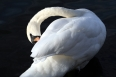 black swan small